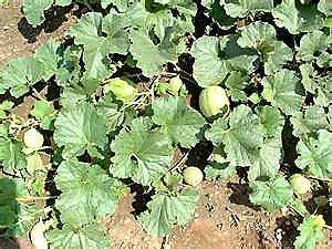 Mot cl melon le potager de saint hilaire - Quand cueillir un melon ...