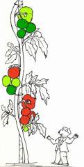 Pin tomate dessin on pinterest - Distance entre pied de tomate ...